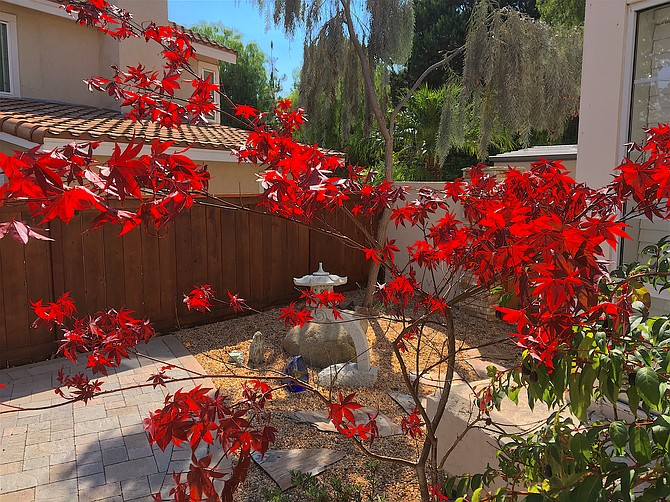 Japanese maple and garden pagoda in our yard.  August 2016.  Rancho Penasquitos.