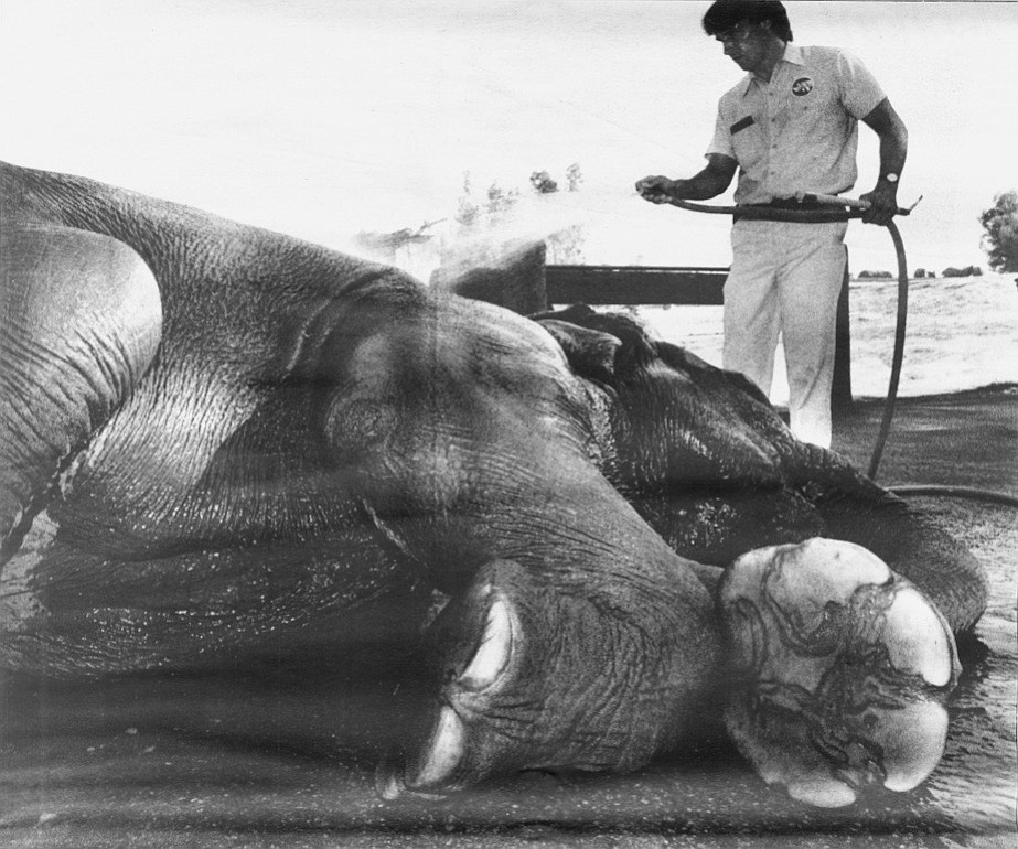 """Roocroft cooling off Cindy. """"When the show elephants went by, poor Cindy was so scared she ran to the barn and hid."""""""