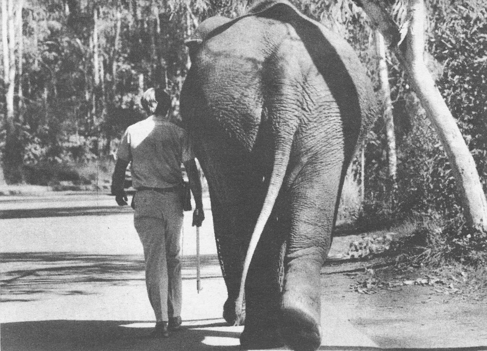 Roocroft walking with Cindy. Eventually she will become a mother. By the end of this year the Wild Animal Park's  Asian Elephant Breeding Facility will be ready.