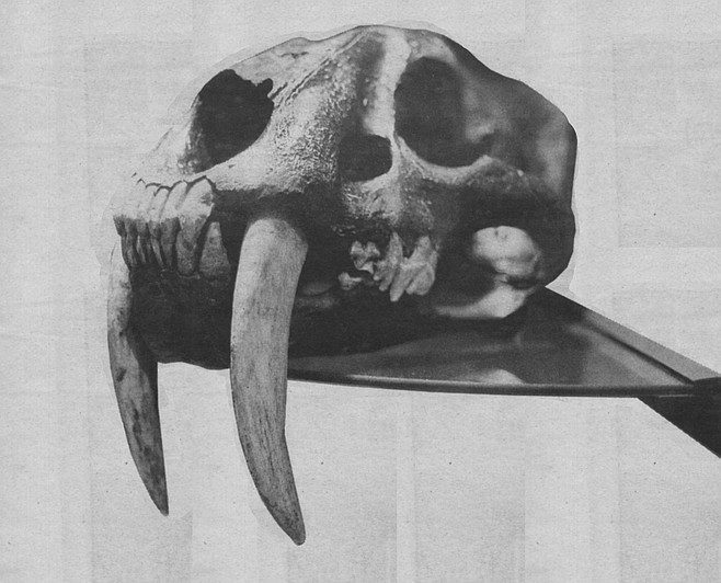 Sabre-toothed tiger skull constructed by ICR scientists