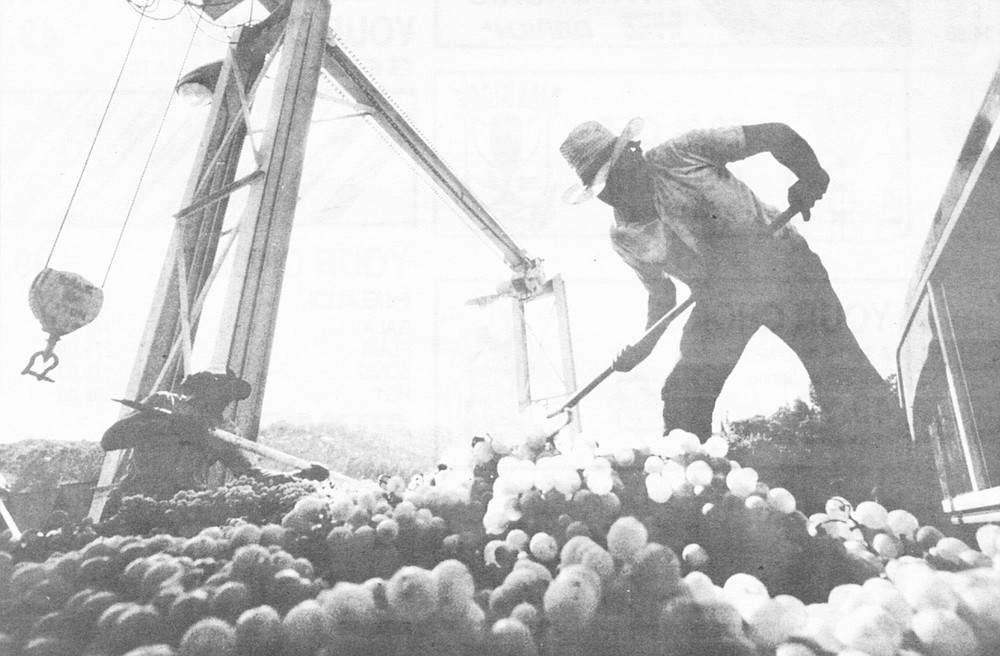 Workers sorting through grapes