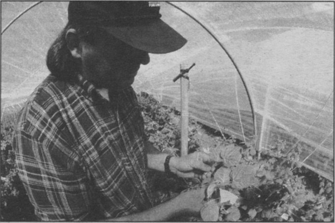 John Stickles got to observe how the ground must be soaked, so that the bulbs come out spongy and swollen and pliable. Then they must be dried.