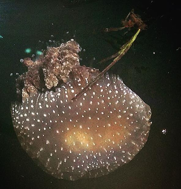 This spotted jellyfish from Down Under is a significant pest threatening to crash fisheries and causing large losses for the tourism industry by stinging.