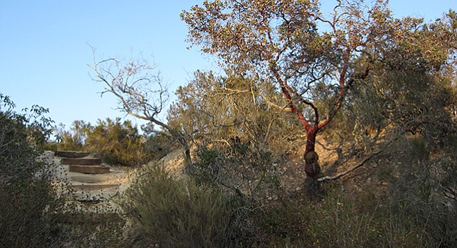 A manzanita grows near Manchester Nature Trails' wooden steps.