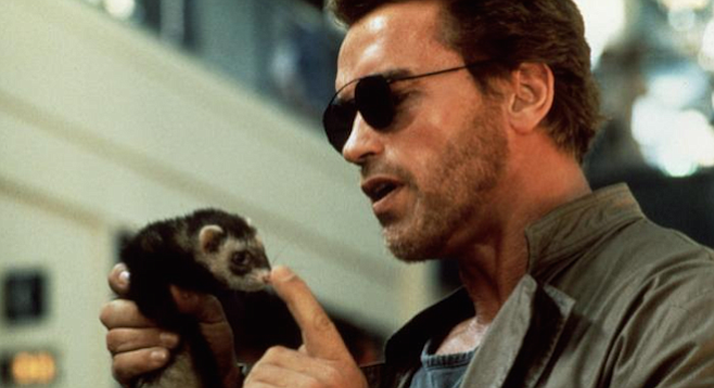 One of the odder complications from the California ferret ban cropped up during the making of last year's Kindergarten Cop with Arnold Schwarzenegger. The script called for a bad guy to get nipped, so the producers hired a number of ferrets from a local trainer. Not wanting to run afoul of the Fish and Game people, Universal shipped the California-trained animals to Oregon and shot the segment there.  The ferrets are reported to be still at large and appearing in television commercials.