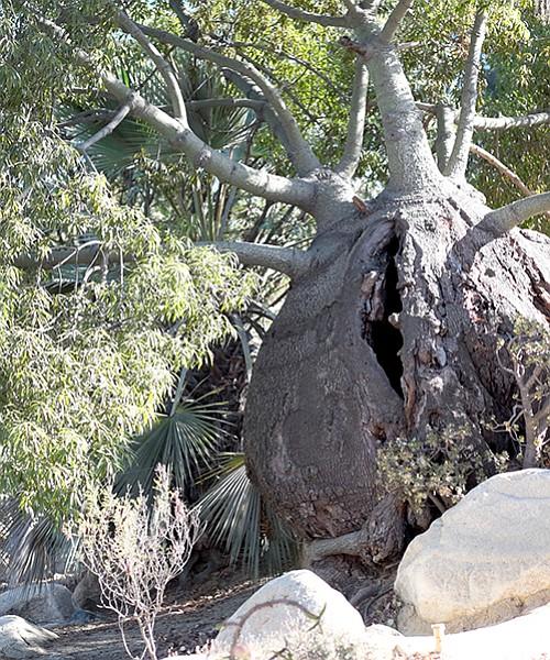 Bottle tree in Balboa Park