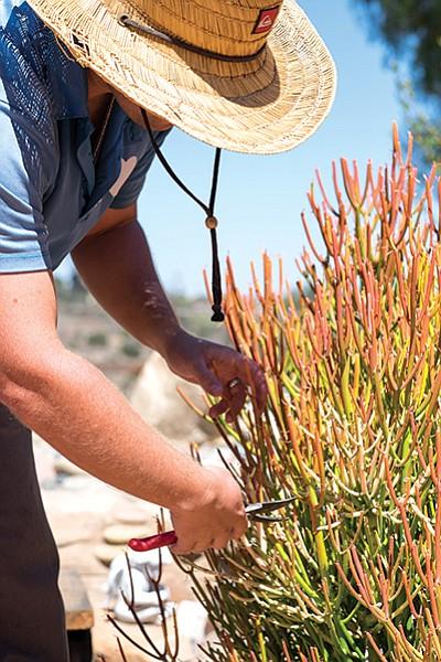 Nicholas Poulsen trims firestick plant