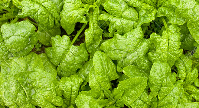 Spinach not all that successful in San Diego | San Diego Reader