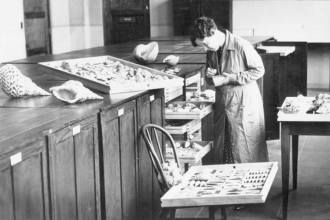 A WPA assistant cataloging shells, c. 1937