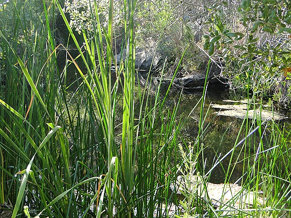 The riparian area  is home to rushes, willows, crayfish, and water skaters.