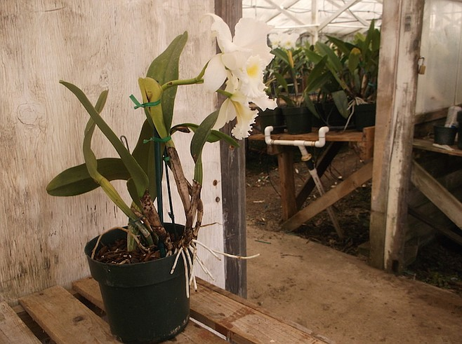 An orchid at Tayama Greenhouses