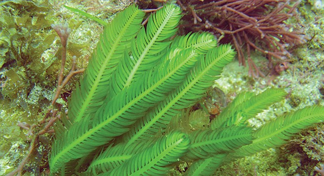 If every plant grew as easily as Caulerpa taxifolia once did in the Agua Hedionda Lagoon, we'd all have green thumbs.