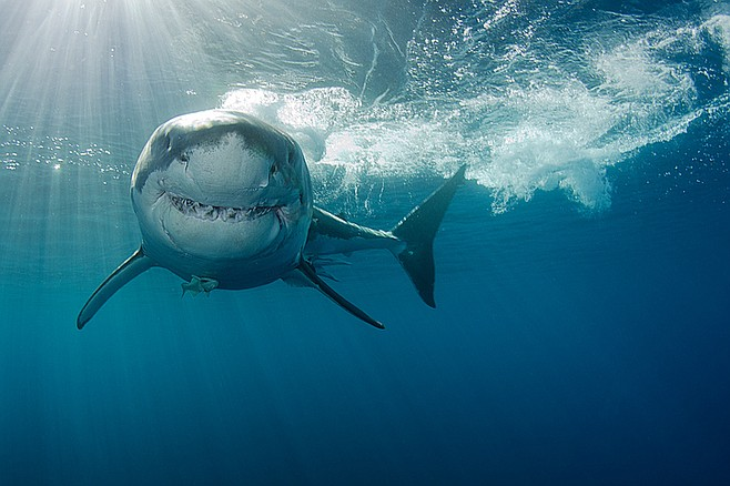 Great white shark. A 33-year-old Convair engineer went skin diving for abalone off La Jolla Cove and was never seen again.