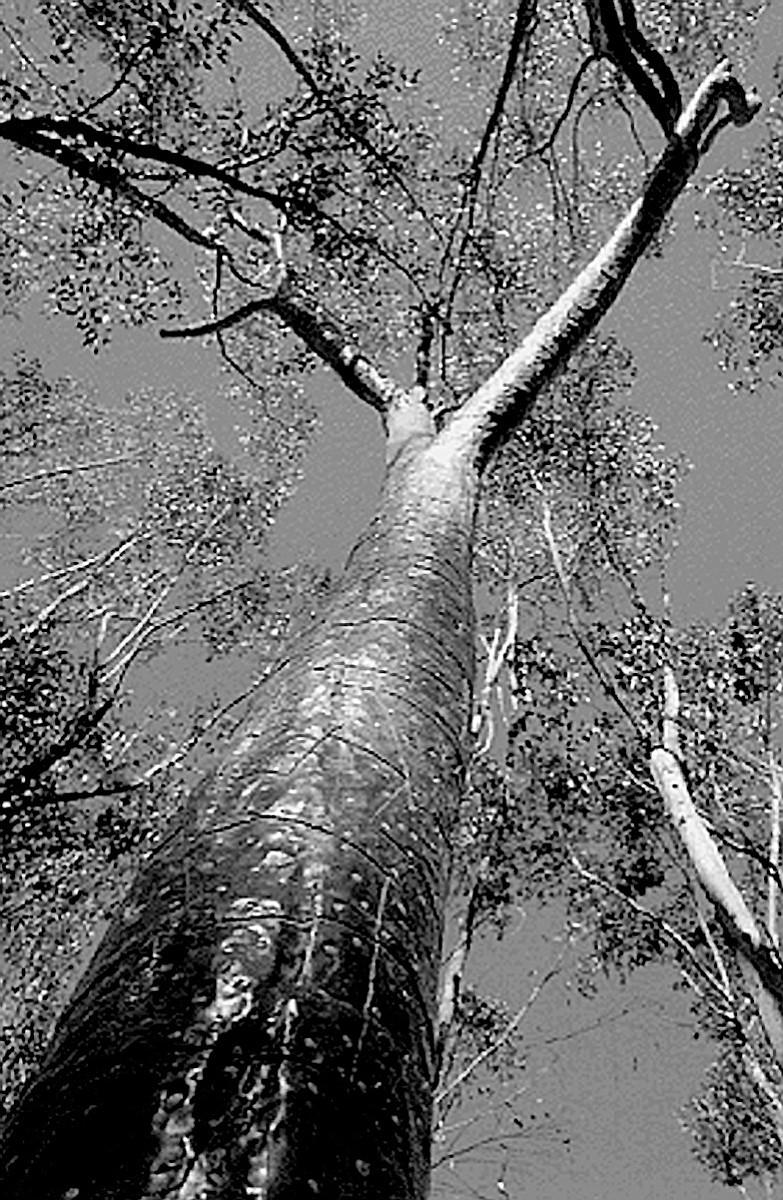 Terry Allen's trees