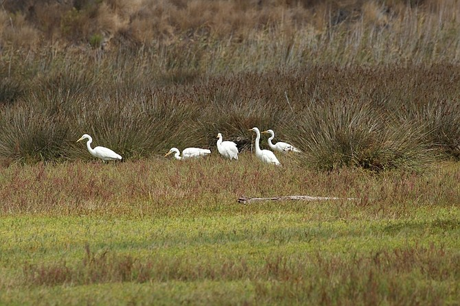 North trail view of great egrets (Ardea alba)
