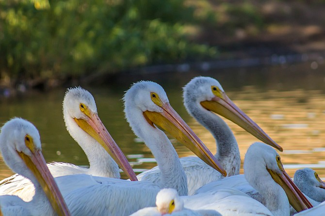 White Pelicans in California? Yes! Check out Lindo Lakes for these beautiful creatures.