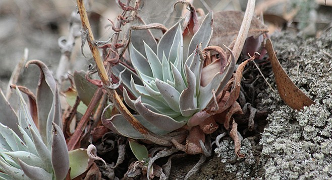 Chalk dudleya along the West Grove trail