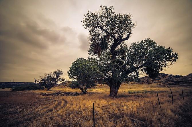 Cottonwood tree - Image by Dramaguy11/istock/Thinkstock