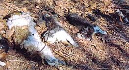 Dead dogs in Missouri
