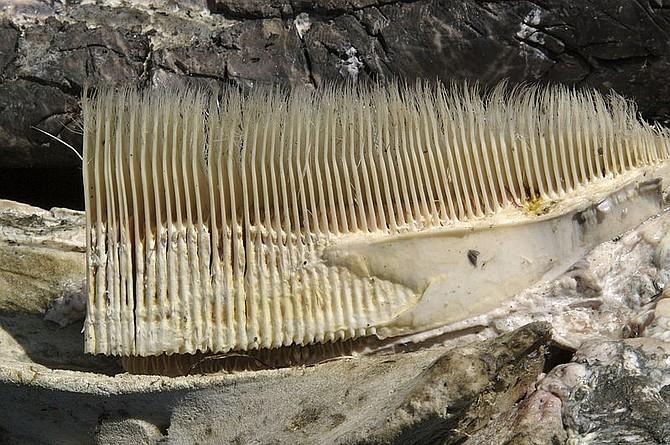 Gray whale baleen