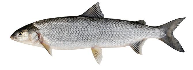Whitefish (Coregonus lavaretus)