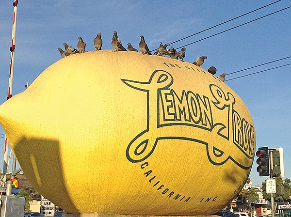 How many pigeons can fit on a lemon? In Lemon Grove, a lot.