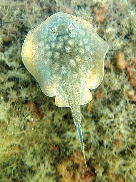 Spotted stingray, Glorietta Bay - one of the remorseless tribes I've seen that represent mortal threats to the few sea ponies.