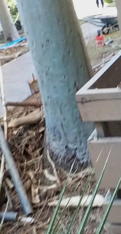 88 ft eucalyptus minus roots