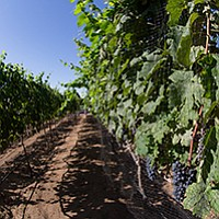 Learn vineyard installation from Keith Wasser, recently featured on A Growing Passion on KPBS