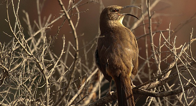 California thrasher. Also look for warblers and hummingbirds along the Twin Peaks Trail.