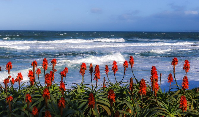 The Red Aloes in La Jolla