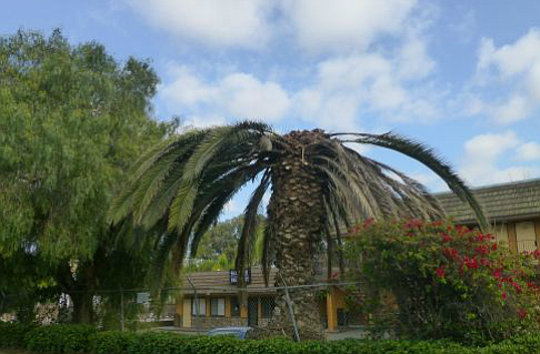 """Crown collapse"" of a San Ysidro date palm"