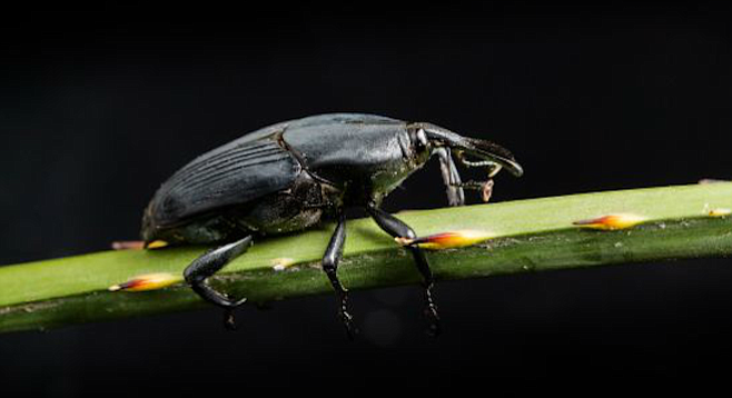 South American palm weevil, aka Rhynchophorus palmarum