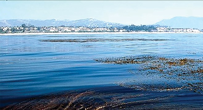 Big kelp forest grew and unwanted fish haven't shown up