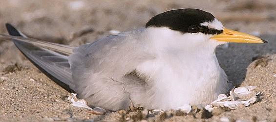 Nesting least tern