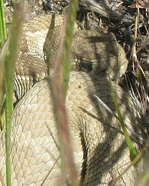 Chance encounter with a Mojave green rattler. (No one harmed.)