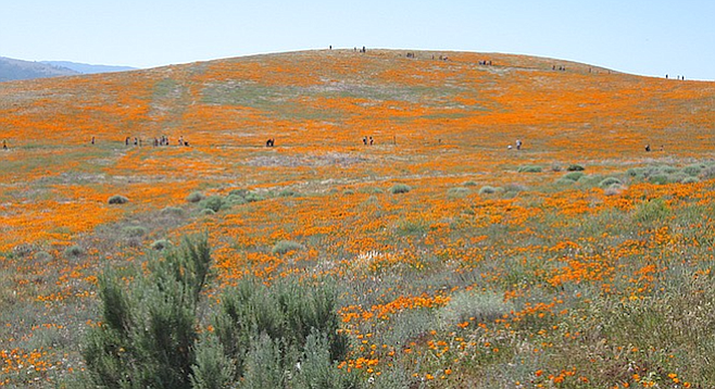 The ideal time to see poppies in bloom: early/mid-March until mid-April. Check the Parks.ca.gov link below.