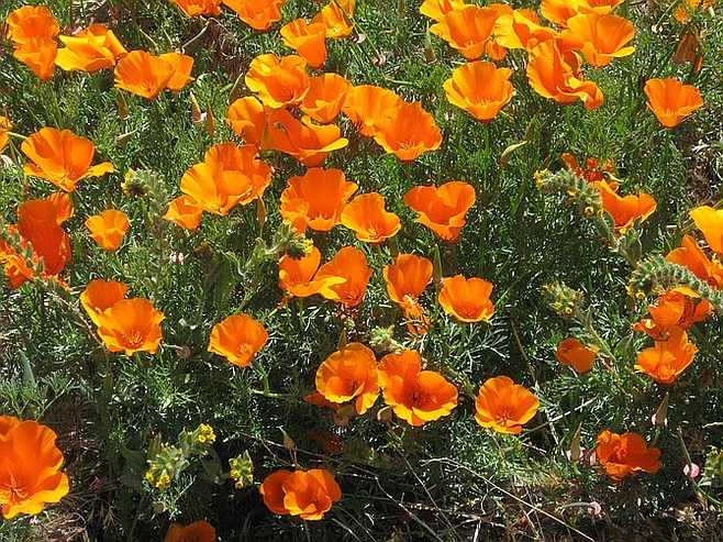 Close-up of California poppies.