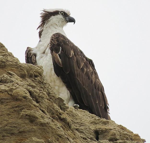 Osprey overlooking the beach