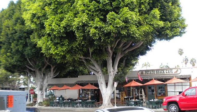 Ficus trees on W. I Street in Encinitas