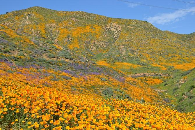 California Gold in Walker Canyon