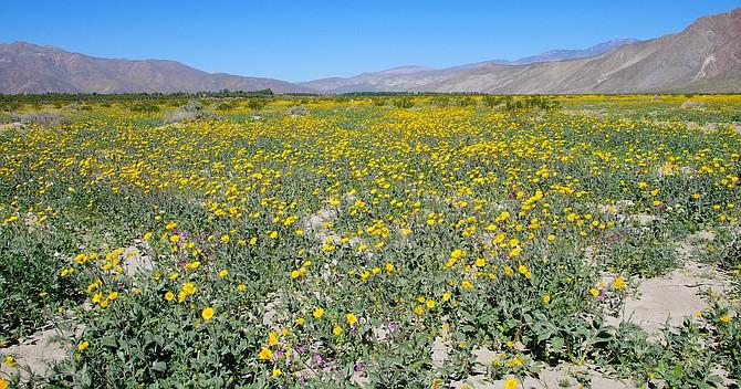 Field of flowers off of henderson road borrego springs california field of flowers off of henderson road borrego springs california mightylinksfo