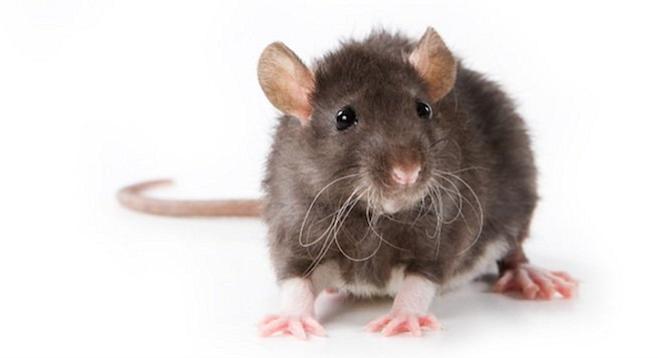 Petco Rats Rat-bite fever? It's a...