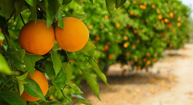 San Diego County's first commercially planted orange and lemon groves began to produce fruit in the 1870s.