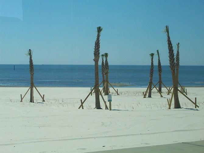 Palm trees along the white sand Gulf beaches of Biloxi, MS.