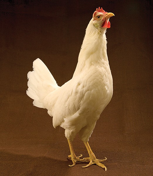 If you take good care of your White Leghorn chick, it may grow up to look like this
