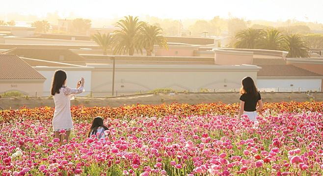 Flower Fields A-Bloom