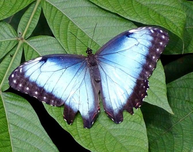 Blue Morpho Butterfly in the Osher Rainforest