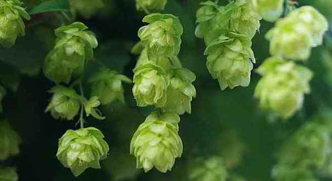 New Zealand hops are known in the craft-beer world for providing distinctively fruity and wine-like aromatics.