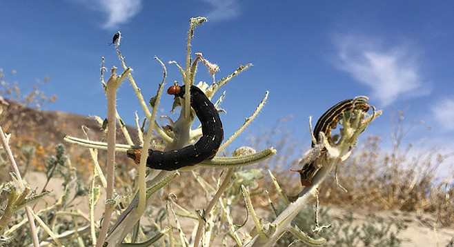 White-lined sphinx moth caterpillars ravage the evening primrose outside Borrego Springs.